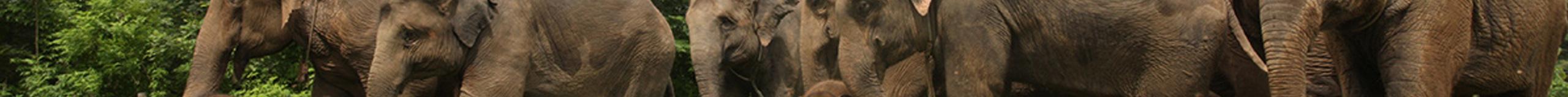 Thaïlande, Sauvegarde<br/>des éléphants d'Asie